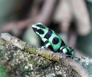 une grenouille verte et noire