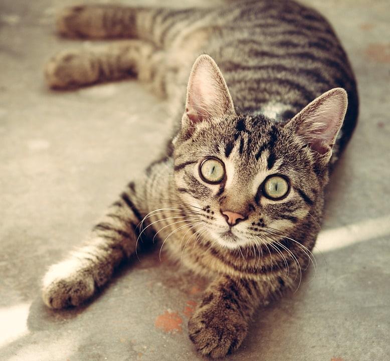 un chat allongé et calme qui veut un câlin